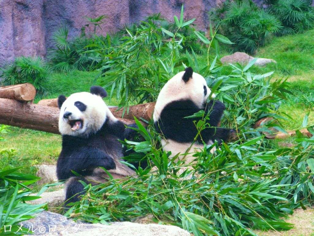 A couple of captive pandas having a meal