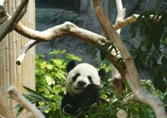 Giant Panda at Macau Giant Panda Pavillion