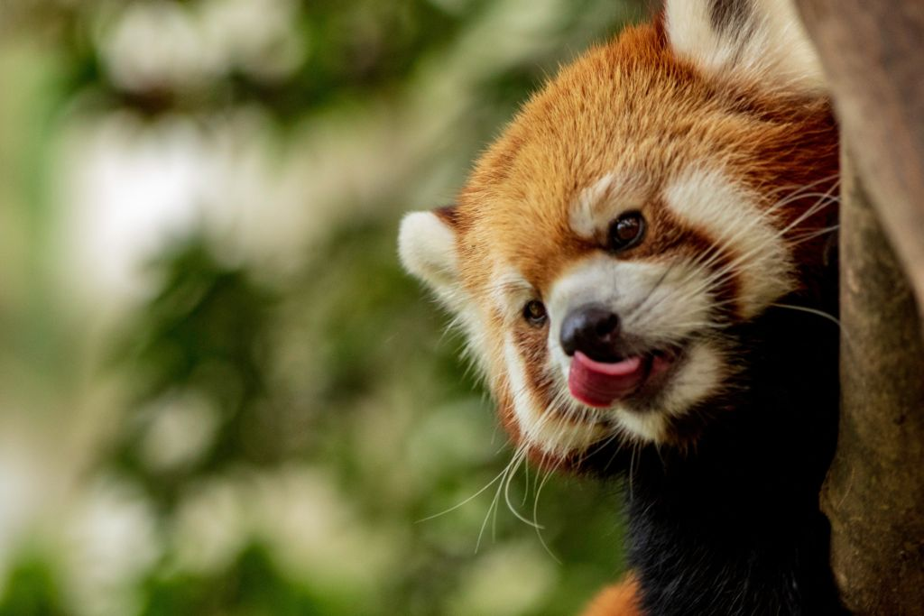 free things to do in Macau Red panda