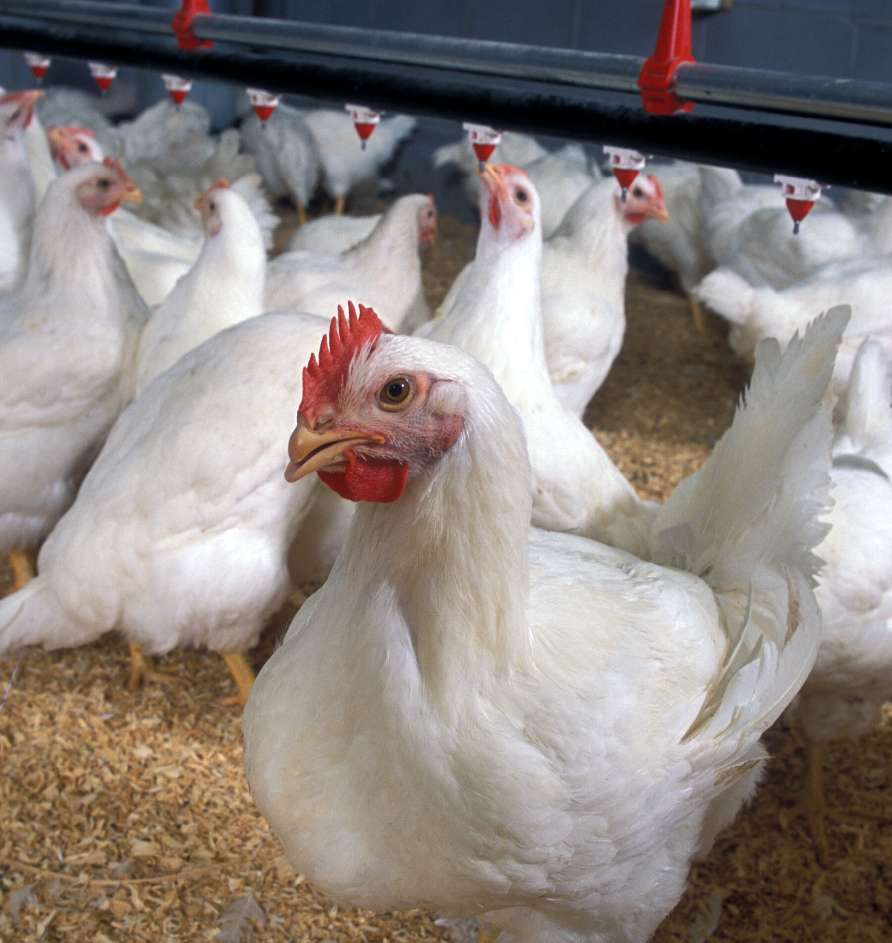 Poultry for Avian Flu Epidemics Article